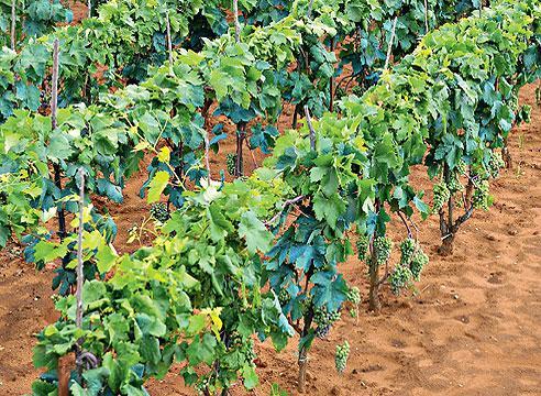 Виноград на легких почвах