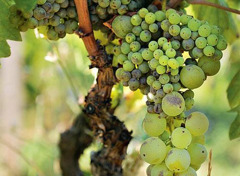Виноград: как избежать горошения?