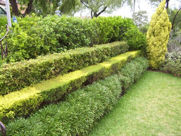 В саду своими руками живая изгородь