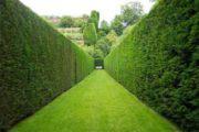 Посадка живой изгороди: варианты кустарников и способы посадки
