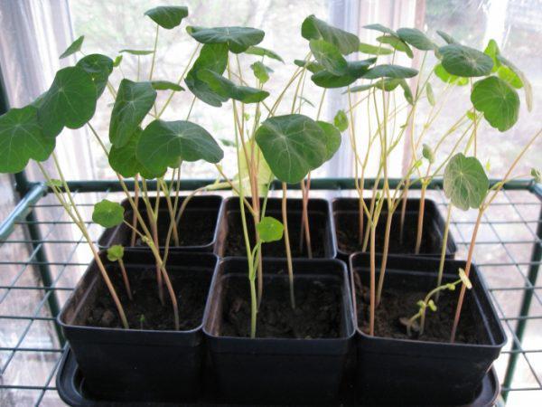 Как выращивать настурцию из семян в домашних условиях