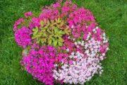 Низкорослые многолетние цветы для клумбы, которые цветут все лето