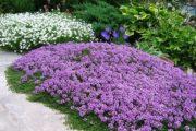 Цветущие почвопокровные растения для сада: названия, фото