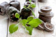 Рассада петунии в торфяных таблетках
